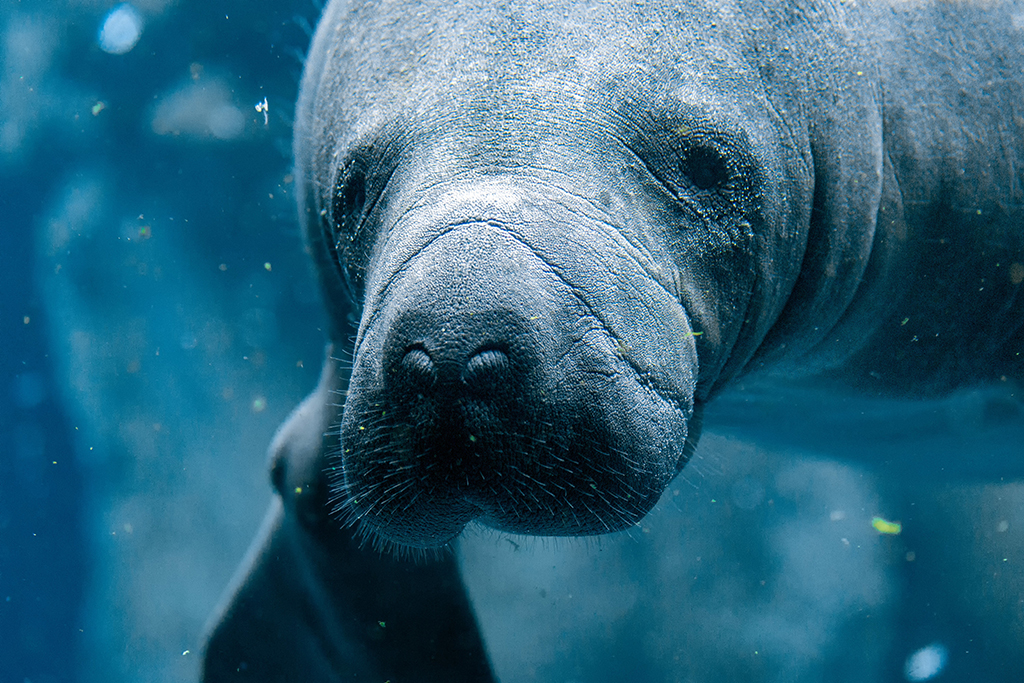 Great Places To See Florida Manatees in 2018 | Authentic ...